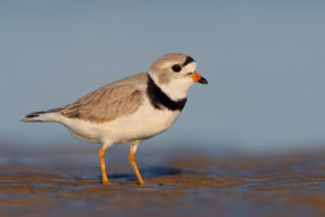 1545_Piping_Plover_04-28-2008_0