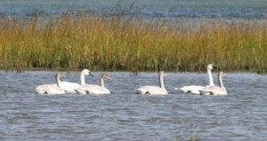 Tundra swans at Hammocks Beach State Park (photo courtesy N.C. State parks)