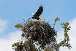 Bald eagle nesting at Jordan Lake (photo courtesy FrogHollow Adventures)