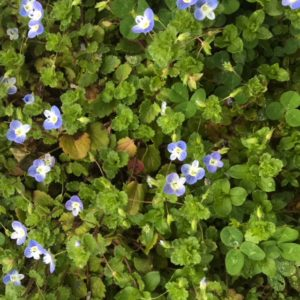 Spring wildflower: speedwell