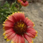 Fire-wheel blanket-flower (photo courtesy of North Carolina State Parks)