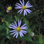 Common aster (photo courtesy North Carolina State Parks)