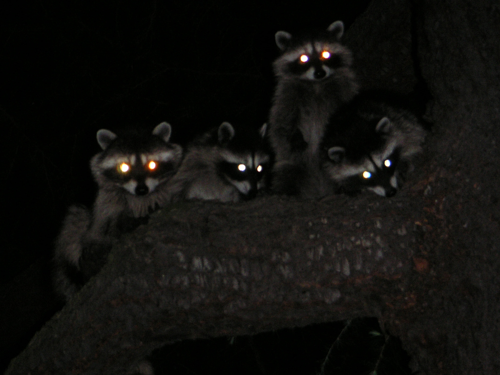 Raccoons love the night life. Photo courtesy dailyraccoons.tumblr.com